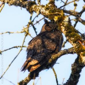 _X5A1764-Edit20130501RNWR   great horned owl
