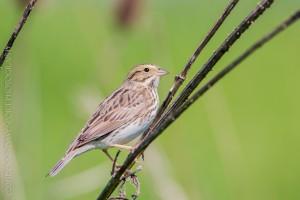 _X5A234520130501RNWR   savannah sparrow