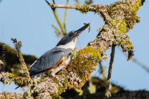 _X5A1934-Edit-Edit20130501RNWR  belted kingfisher female