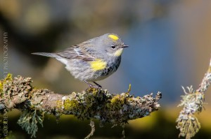 _X5A1880-Edit20130501RNWR  yellow-rumped warbler (myrtle)