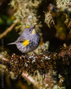 _X5A1857-Edit20130501RNWR   yellow-rumped warbler (myrtle)