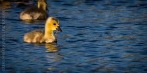 _X5A1845-Edit20130501RNWR  canada goose gosling