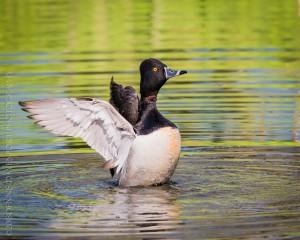 _X5A2244-Edit-Edit20130501RNWR  ring-necked duck