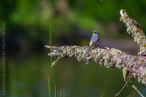 _X5A2406-Edit20130501RNWR   yellow-rumped warbler (audubon's)