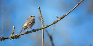 _X5A2392-Edit20130501RNWR  yellow-rumped warbler (audubon's)