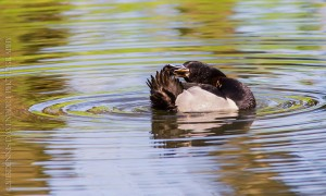 _X5A2309-Edit20130501RNWR  ring-necked duck drake