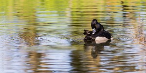 _X5A2204-Edit20130501RNWR  ring-necked duck drake