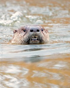 _X5A0297-Edit20131226RNWR   river otter