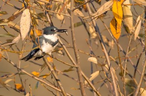 _X5A7028-Edit20131120RNWR  Belted Kingfisher
