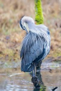 _X5A0365-Edit20131226RNWR  great blue heron