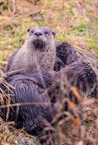 _X5A0282-Edit20131226RNWR  river otter